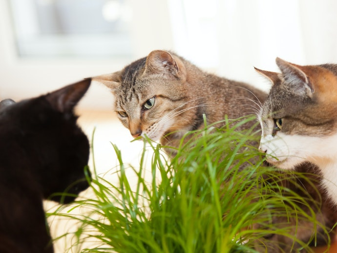 毛玉のお悩みには猫草もおすすめ