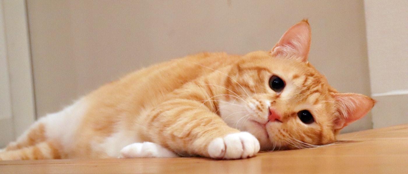 """にゃんスタグラマー『""""お太りさま猫""""ぐっぴー』おすすめ!猫も人も幸せになる猫グッズ7選"""